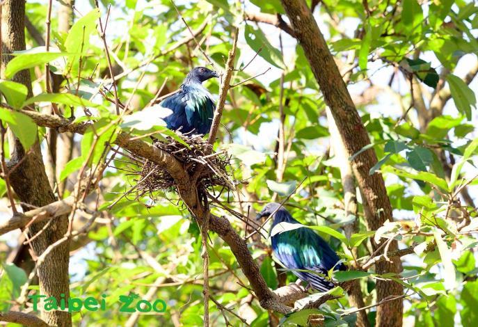 鳩鴿科的鳥類有時停棲在較高處或是藏身樹叢中,一時很難被發現(綠簑鴿)