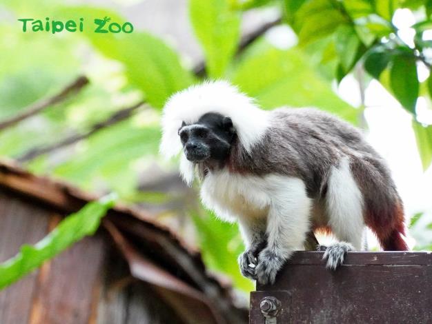棉頭絹猴的地域性與護仔行為極強,記得要和牠們保持安全距離呦!
