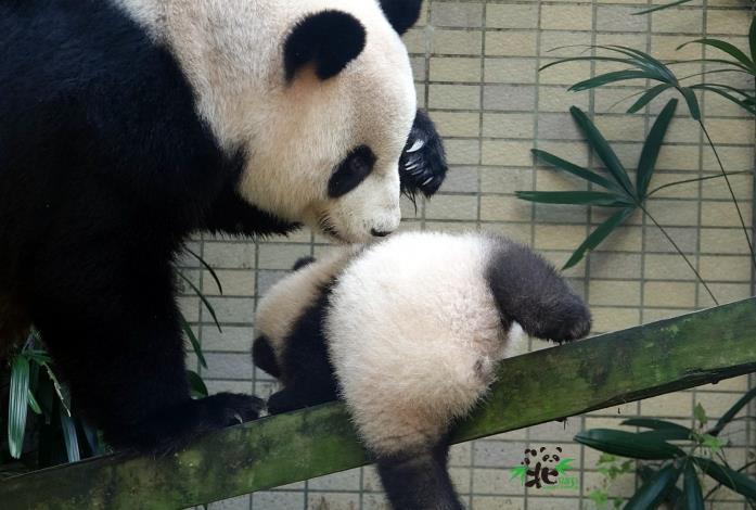 媽媽「圓圓」發現「圓寶」睡著了,起身幫她〝喬〞一下姿勢