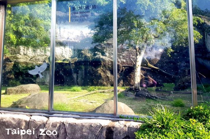 防止鳥類誤撞玻璃的有效方法,應該是在玻璃外側懸掛或黏貼高密度、大面積的物件