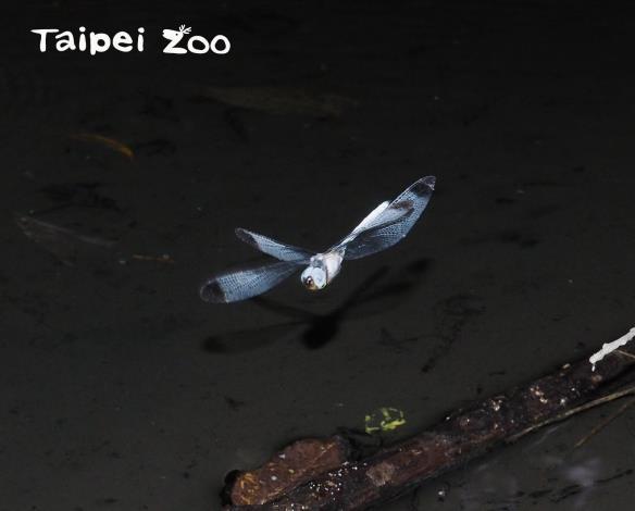 灰影蜻蜓出現的時間光線昏暗,幾乎是在天黑前半小時,是野外觀察比較容易漏失的時間點(胡芳碩攝)