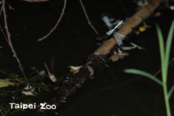 灰影蜻蜓飛行速度很快,本來就很難看清楚(張毓琦攝)