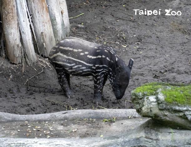 馬來貘寶寶「貘豆」身體的斑紋逐漸在改變