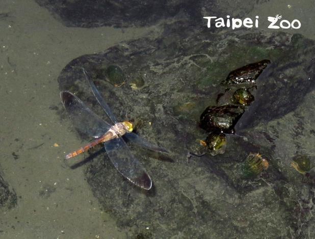灰影蜻蜓對水體條件要求不高、適應力強,任何靜水域甚至花臺積水處都發現過(胡芳碩攝)