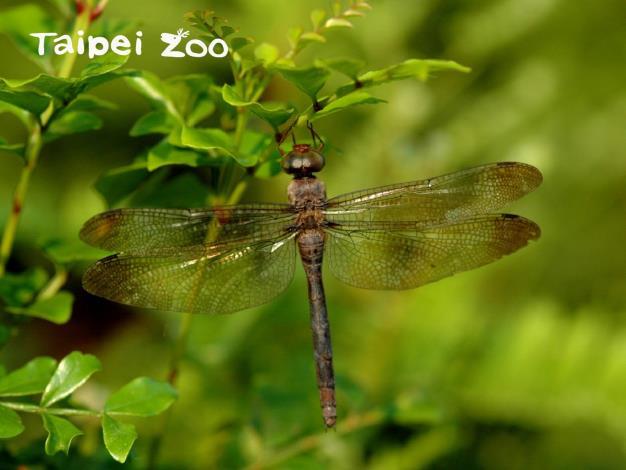 近年來臺灣各地陸陸續續有灰影蜻蜓出現的紀錄(劉威廷攝)