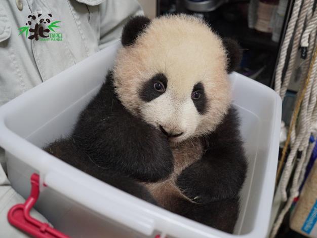 小編:這樣像不像大貓熊布偶裝進收納箱???