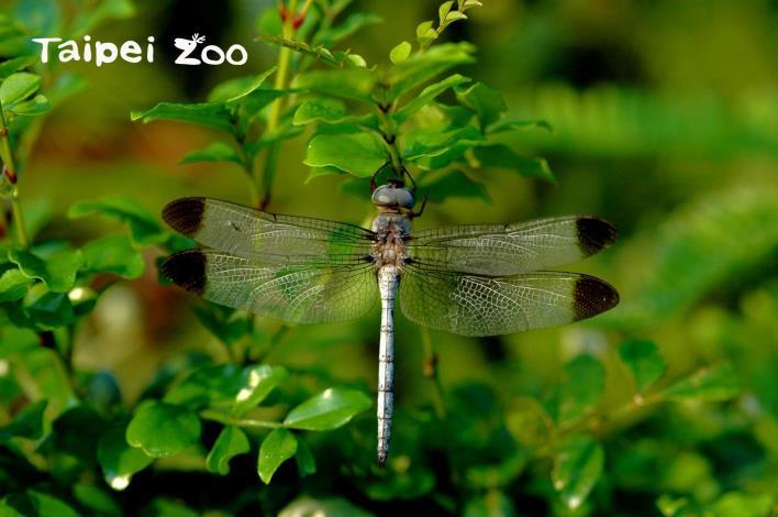 2006年陳賜隆與蜓友共同發表灰影蜻蜓在臺灣的首次紀錄(劉威廷攝)