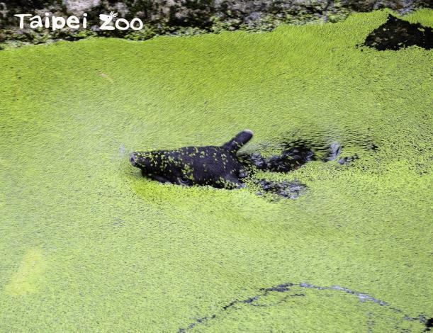「貘豆」:馬來貘的水池說不定也能發現灰影蜻蜓呦!