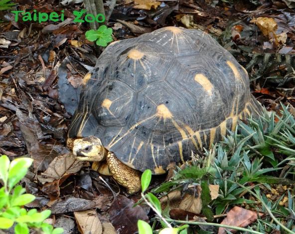 射紋陸龜又稱為輻射龜,主要是因為牠們背甲上有黃色放射狀紋路,從每一片板塊中心發散而得名