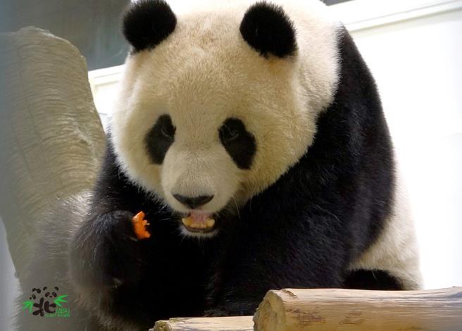 「圓仔」:下次推出〝大貓熊列車〞我們再一起去試乘!!!