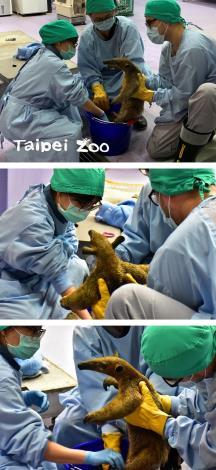 小食蟻獸「小紅」全身是泥沙,醫療團隊為牠清理乾淨