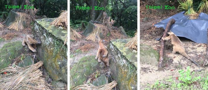 熱心民眾江建德先生及許匡中先生,表示他們上午爬山經過深坑林家草厝時,曾在路邊看見小食蟻獸,並且提供所拍攝的照片(江建德攝)