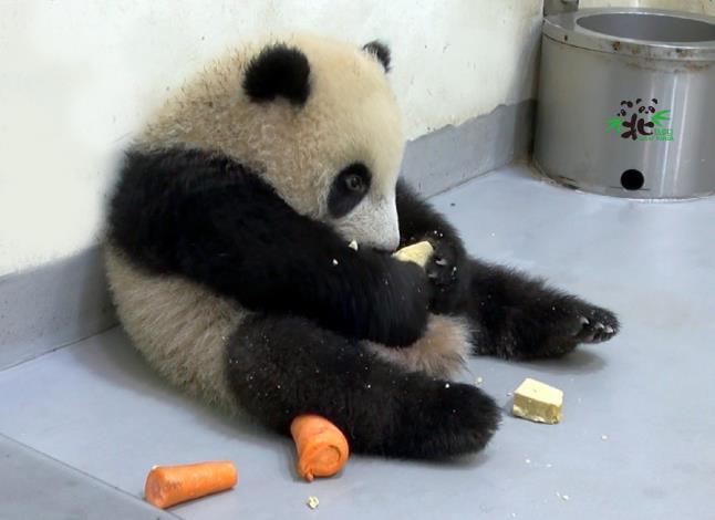 「圓寶」練習吃窩窩頭和紅蘿蔔