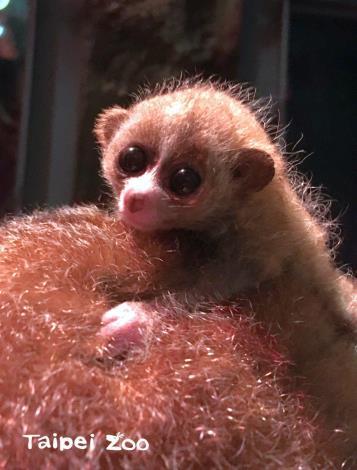 其實這顆小毛球是小懶猴媽媽於11月14日生下的寶寶(陳雲攝)