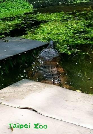 鱷魚不是活潑的動物,習性比水豚還要「宅」