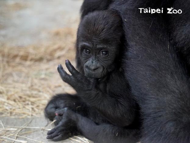 金剛猩猩的北鼻也會吃手手呦!