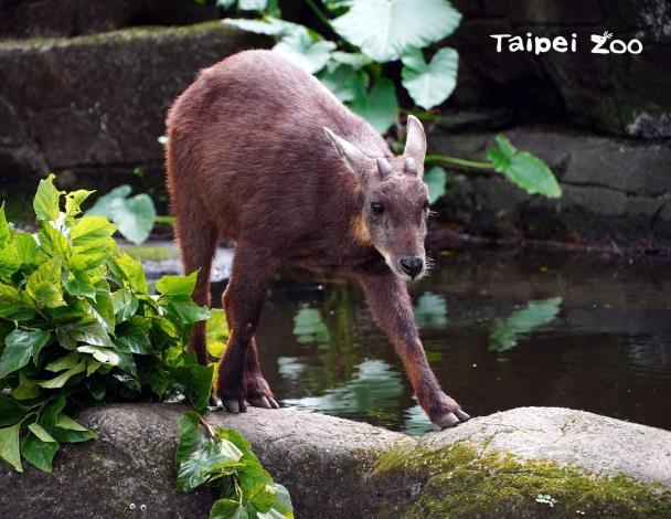 臺灣野山羊是臺灣唯一的牛科動物