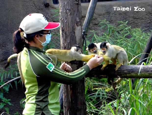 藉由手餵的過程,保育員可以就近觀察動物的外觀(黑冠松鼠猴)