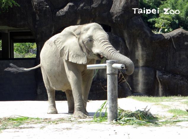 非洲象玩行為豐富化玩具-梅花椿