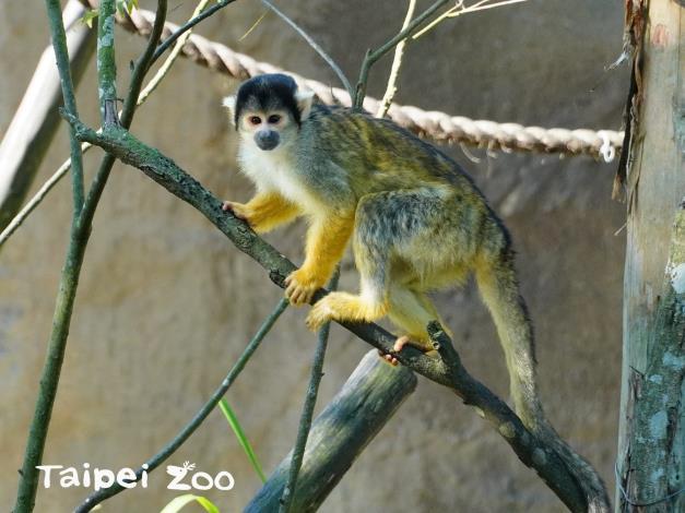 黑冠松鼠猴雖然聰明且親人,但其實不適合作為寵物