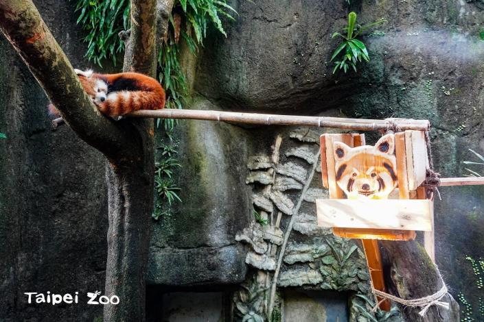 小貓熊「可麗餅」可以選擇在靠近遊客面的懸空平臺及木橋上休息,也可以選擇遠離遊客面,躲進巢箱或是吊床中入睡