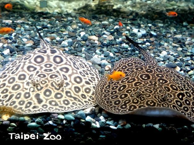 魟魚寶寶雖然很可愛,但尾部的棘刺具有毒性,要特別小心