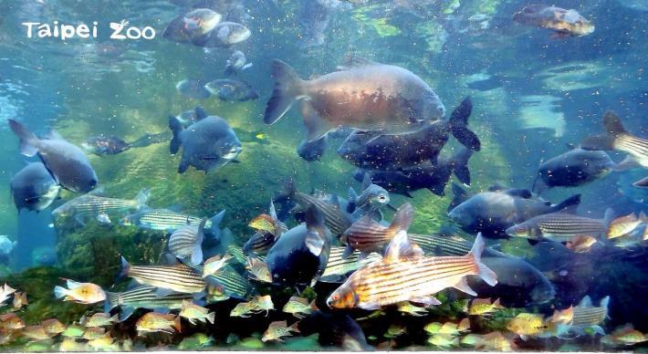 每天早上約9點及下午約3點,是保育員餵魚的時間