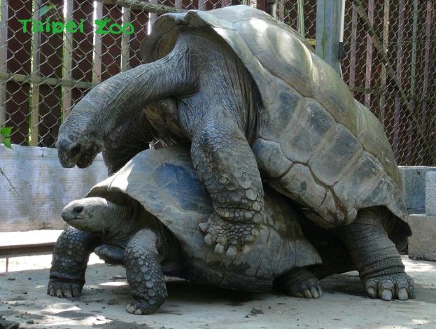 過去即使有騎乘行為,也往往因母象龜後腿無法支撐起一隻重約百公斤的公象龜重量,而導致自己龜殼幾乎貼地,阻擋繁殖行為的發生