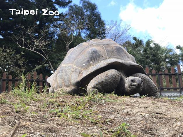 亞達伯拉象龜是非常長壽的動物,壽命約可至百歲左右