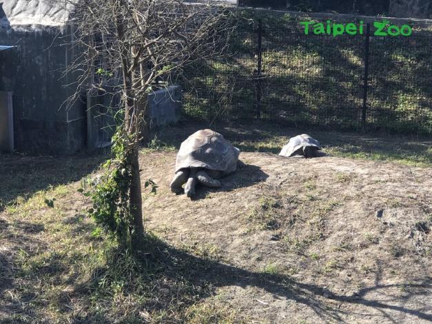 正在享受「曬日光浴」的象龜,呈現放鬆的舒服姿勢