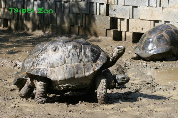 經過不斷地行為訓練,象龜們都擁有強壯的腿支撐重量,在2017年底時終於繁殖成功