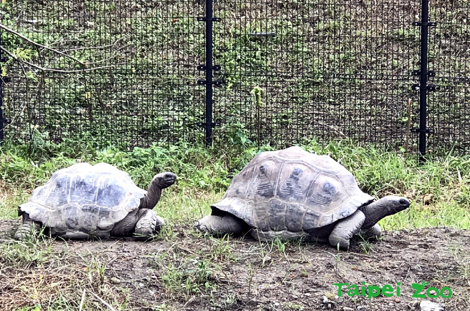 去年11月中,臺北市立動物園兩隻亞達伯拉象龜「帥哥(公-右)」和「大大(母-左)」就搬進了位在兩棲爬蟲館出口處的新活動場