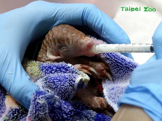 救傷穿山甲寶寶來到動物園的第一天