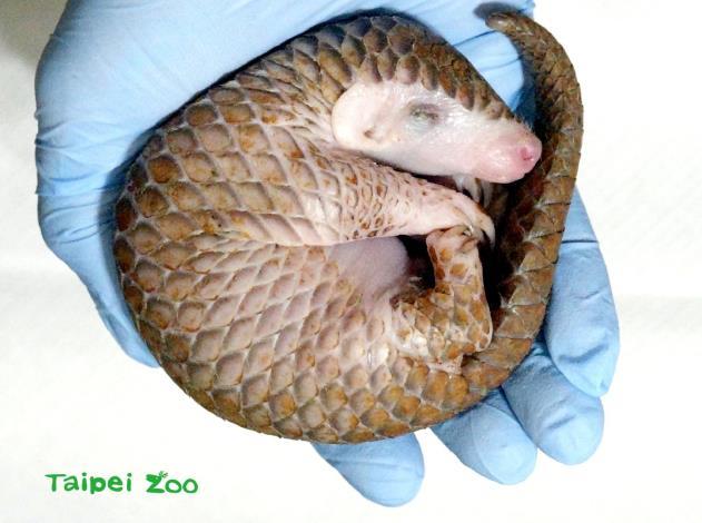 剛來到動物園的救傷穿山甲寶寶,體重僅110公克