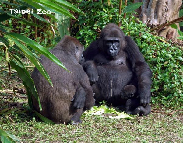 金剛猩猩「Iriki」(右)偶爾也會幫忙照顧「Jabali」