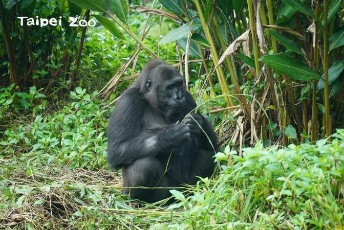 金剛猩猩「Iriki」對「Jabali」也非常溫柔