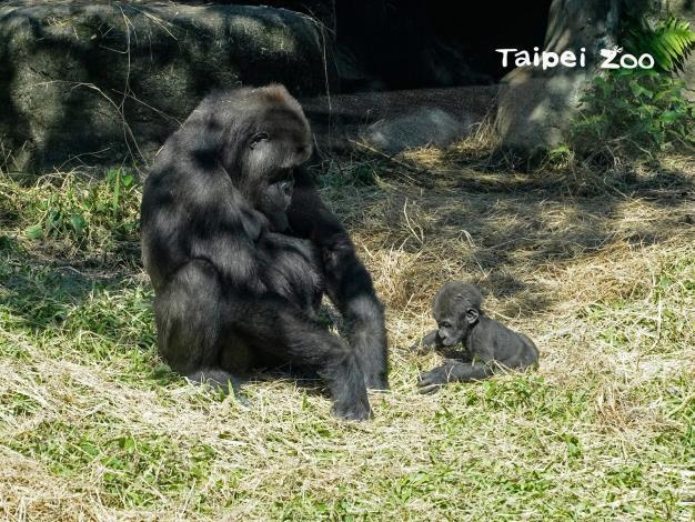 金剛猩猩媽媽「Tayari」現在常常會把「Jabali」獨自放在一旁,讓他自己探索環境