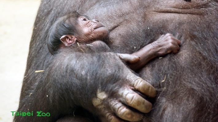金剛猩猩「寶寶」第一次繁殖成功,帶有他珍貴基因的小孩,對於金剛猩猩域外族群遺傳多樣性的提升,具有重大的意義