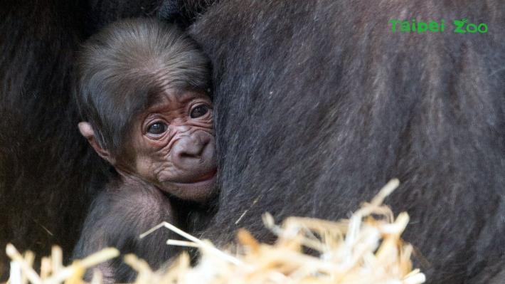 今年是荷蘭「Apenheul Primate Park(猴山靈長類公園)」開園第50週年,而「寶寶」和「Gyasi(蓋希)」的小孩,竟恰好是在該園誕生的50個金剛Baby,真是喜上加喜(Apenheul Primate Park提供)