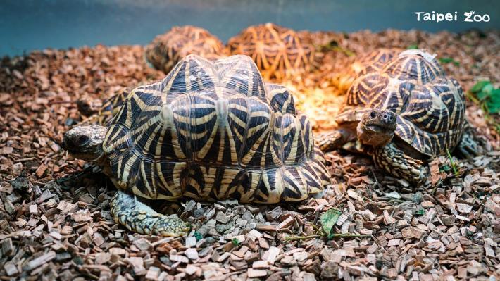 通常陸龜的龜殼非常堅硬,外型渾圓高聳(印度星龜)