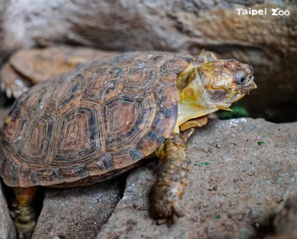 餅乾龜擁有扁平柔軟的外殼,能把自己在石縫間塞好塞滿