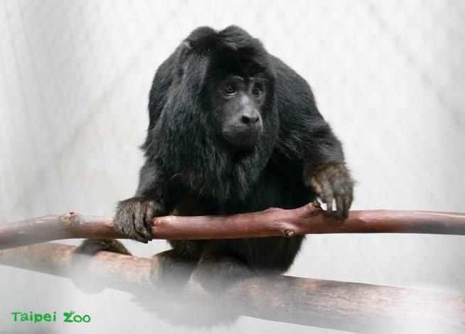 「黑吼猴」發出的咆嘯聲,聲音可傳到2公里外