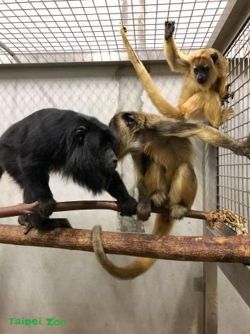 黑吼猴有雌雄二型性,成年的公猴才會是黑色的,母猴跟幼猴則是金黃色的
