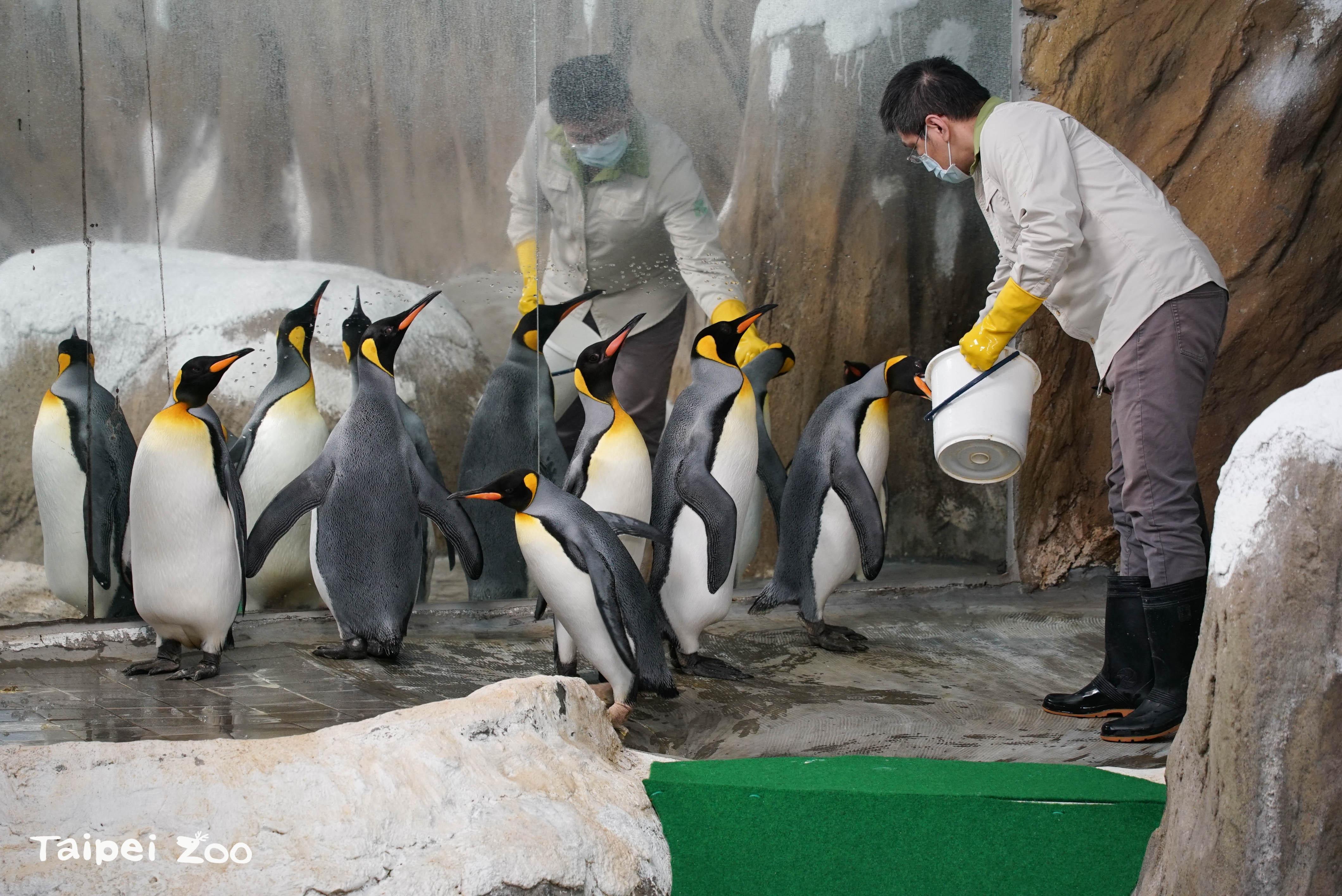 臺北市立動物園首度引進的國王企鵝,轉眼將在園內度過第21個年頭