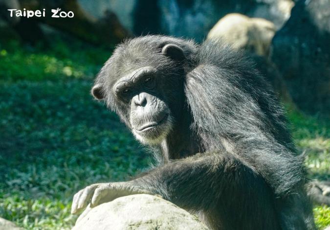 黑猩猩對其他個體表現友好時,會摸對方的屁股,藉此釋出善意(僅限黑猩猩哦!亂摸別人屁股被揍小編可不負責!!!)