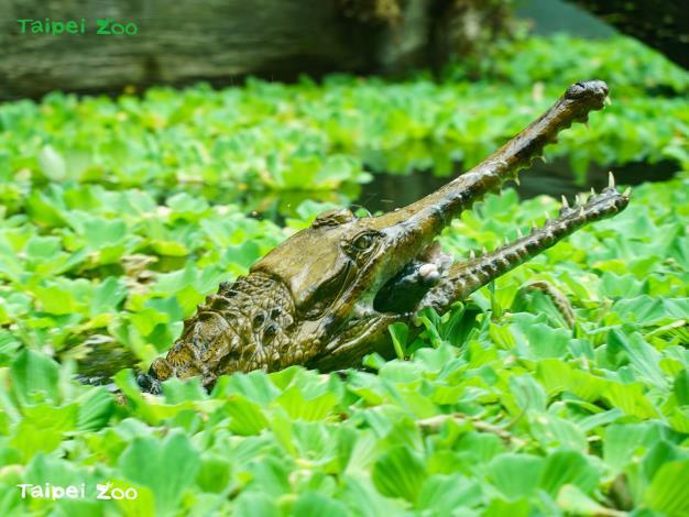 馬來長吻鱷在天氣轉為相對溫暖的季節裡,逐漸恢復代謝機能,開心享用今年第一頓豪華大餐
