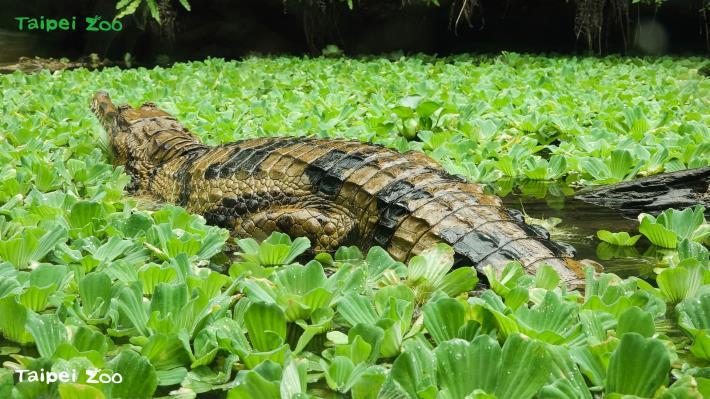 馬來長吻鱷尾巴基部「圓滾滾」呈飽滿狀,表示個體健康且有順利將食物轉換成能量