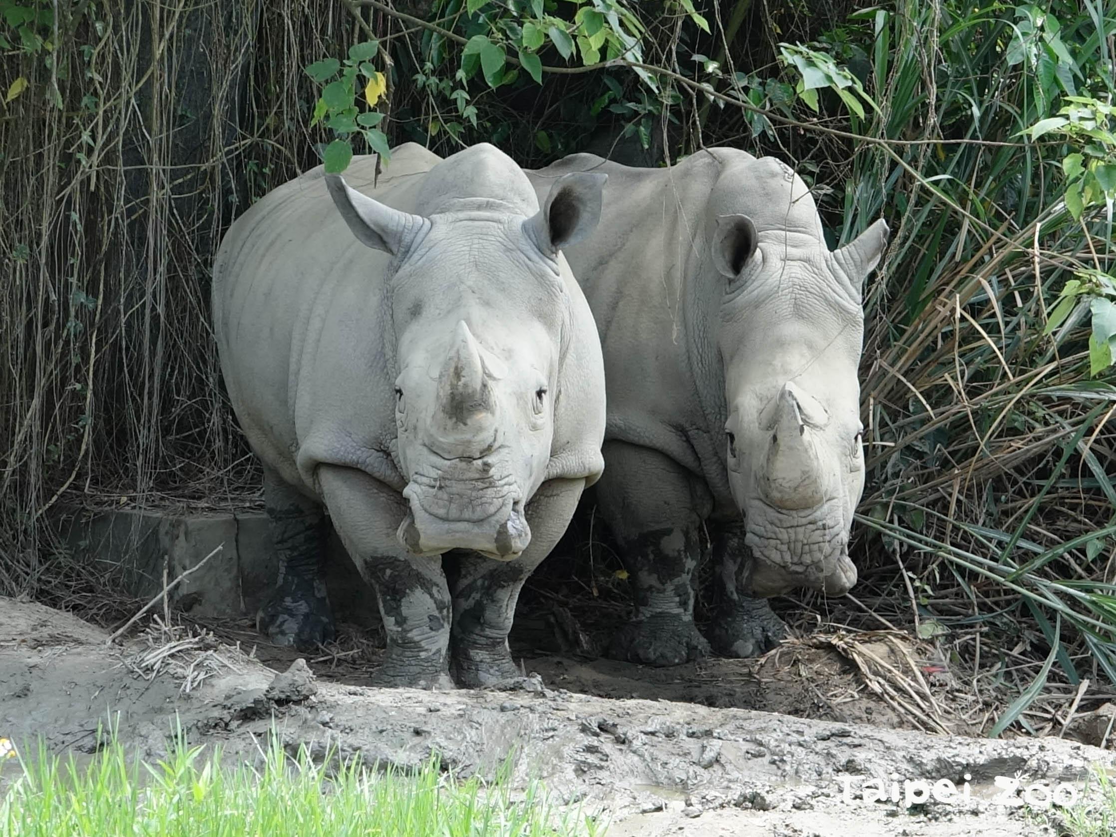 雖然政府及民間都積極投入犀牛保育工作,但至今成效有限,仍待持續努力