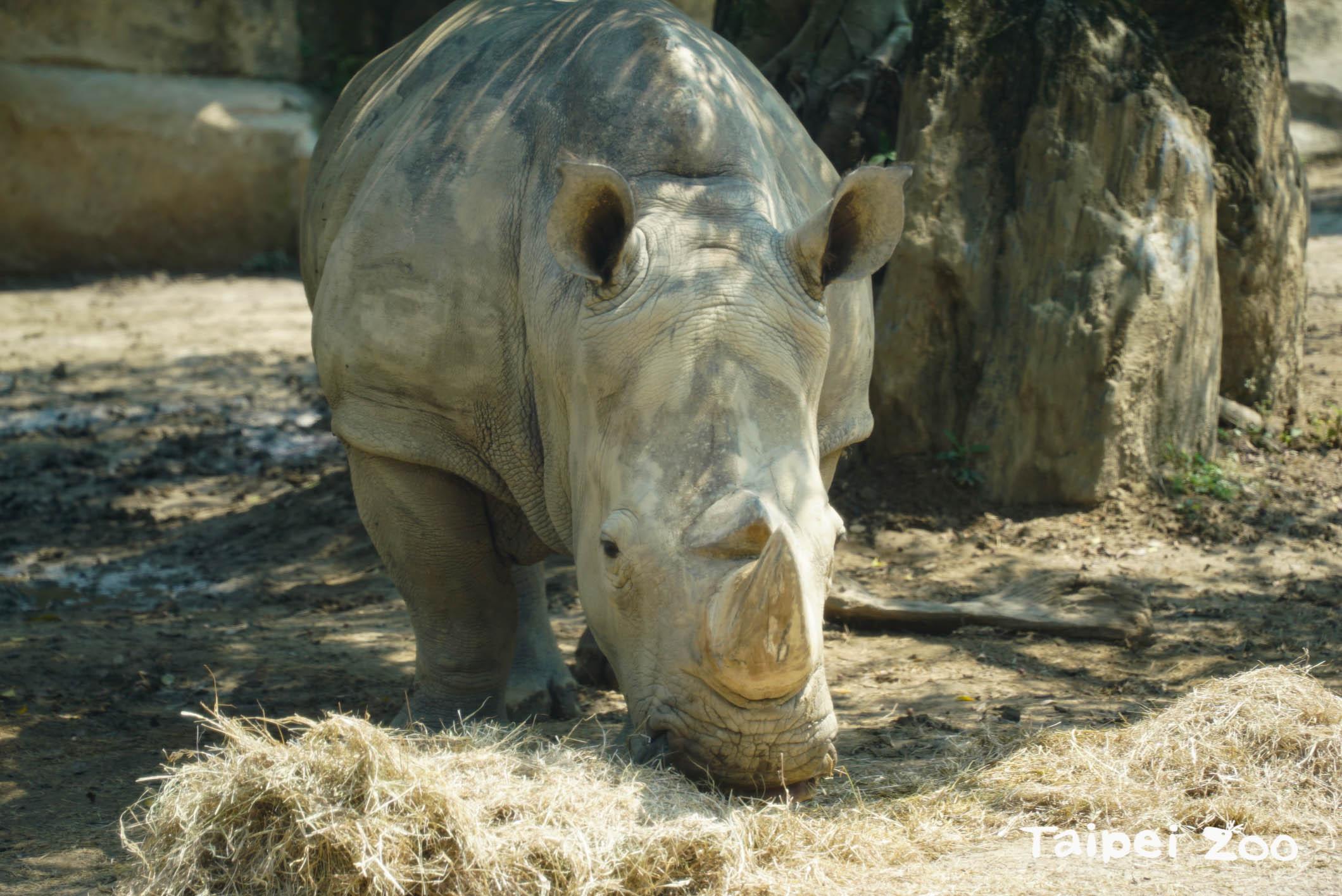 白犀牛悠閒自在的享用早餐