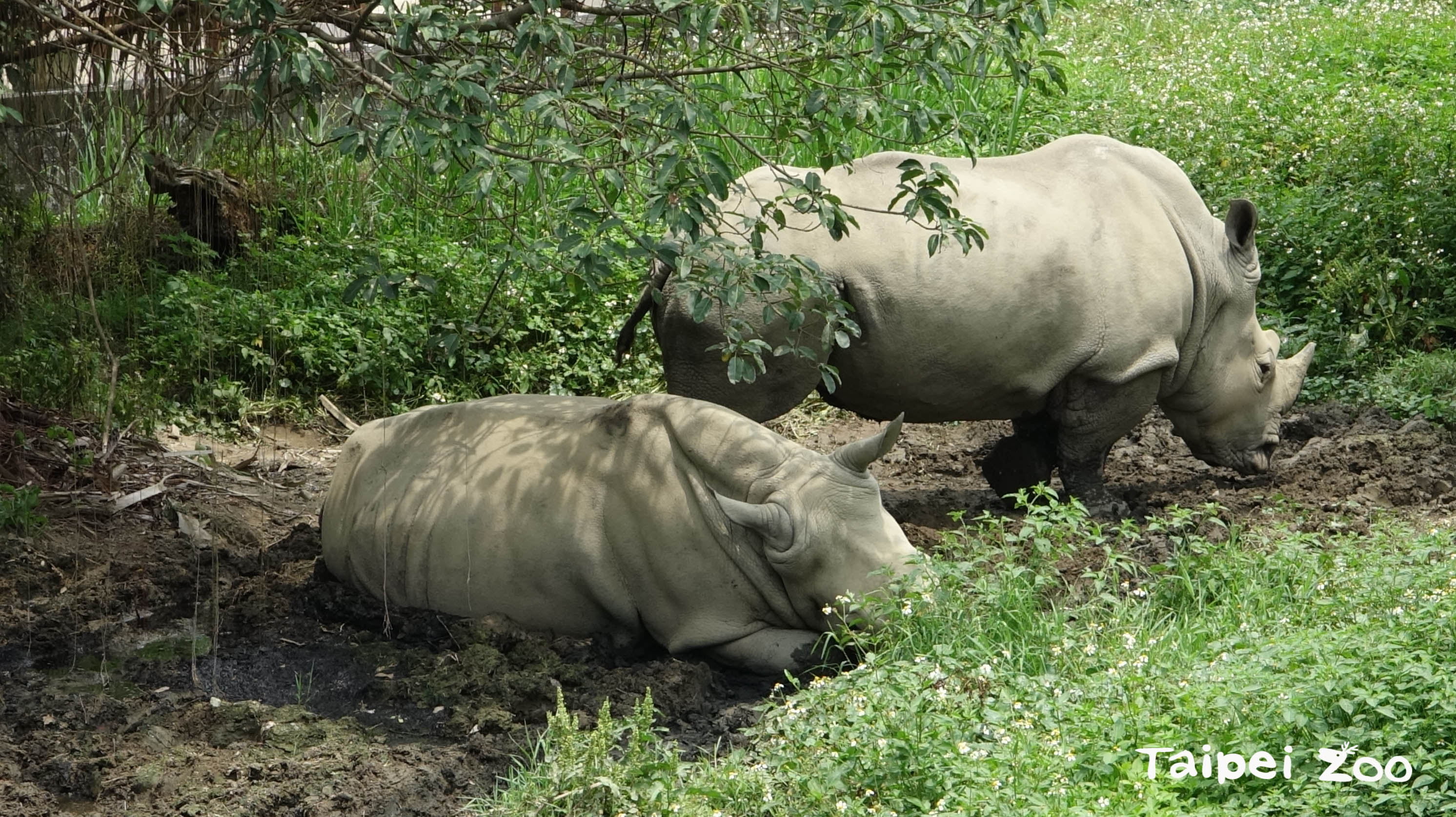 犀牛非常喜歡泥巴浴,牠們會將肚子貼在泥地上散熱